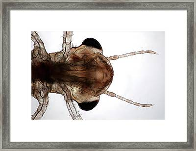Dragonfly Larva Framed Print