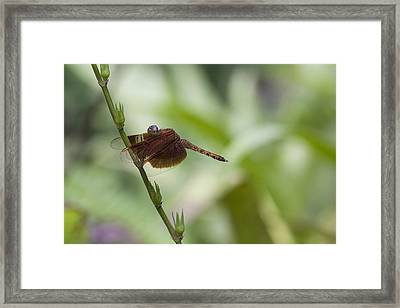 Framed Print featuring the photograph Dragonfly by Zoe Ferrie