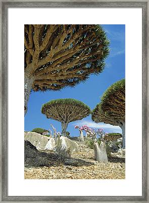 Dragons Blood Trees Framed Print by Diccon Alexander