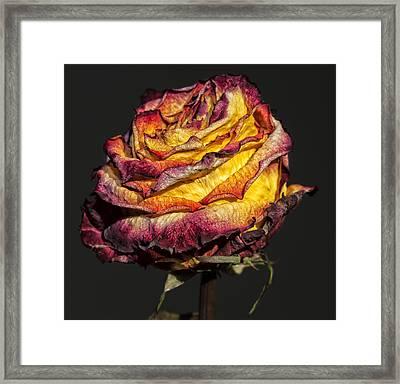 Dried Rose Still Life Framed Print