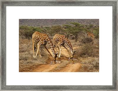 Drinking In Tandem Framed Print