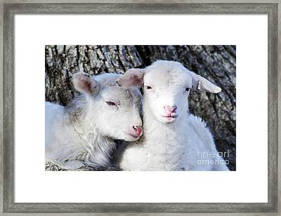 Drowsy Day Old Lambs Framed Print by Thomas R Fletcher