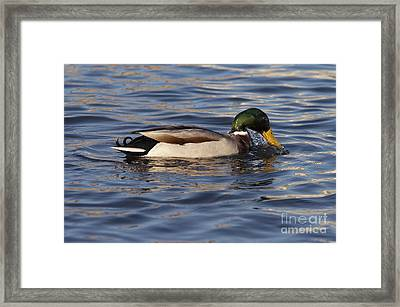 Duck On The Water Framed Print by Michal Boubin