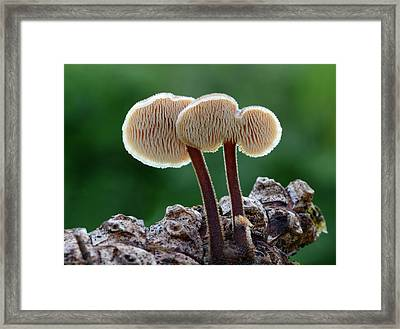 Ear Pick Fungus Framed Print by Nigel Downer