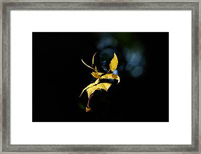 Early Fall Of  Downy Birch Framed Print by Jouko Lehto