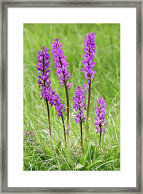 Early-purple Orchid (orchis Mascula) Framed Print