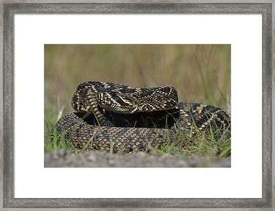 Eastern Diamondback Rattlesnake Framed Print by Pete Oxford