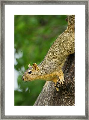 Eastern Fox Squirrel (sciurus Niger Framed Print by Larry Ditto