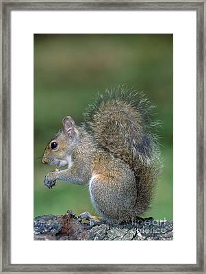 Eastern Grey Squirrel Framed Print by Millard H. Sharp