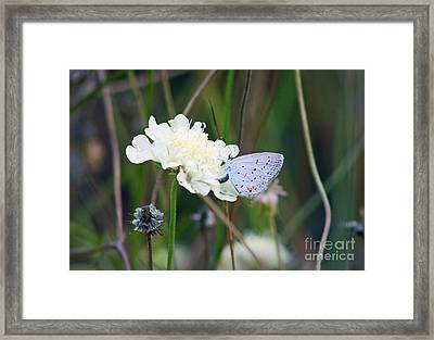 Eastern Tailed Blue Butterfly On Pincushion Flower Framed Print by Karen Adams