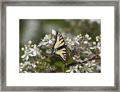 Eastern Tiger Swallowtail Framed Print by Linda Freshwaters Arndt