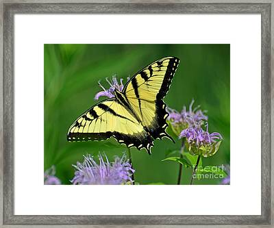 Eastern Tiger Swallowtail Framed Print by Rodney Campbell