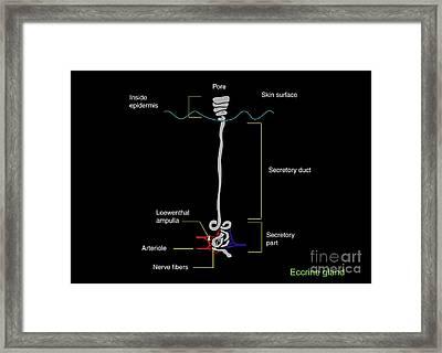 Eccrine Sweat Gland, Artwork Framed Print by Francis Leroy, Biocosmos