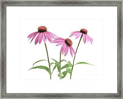 Echinacea Purpurea Flowers Framed Print