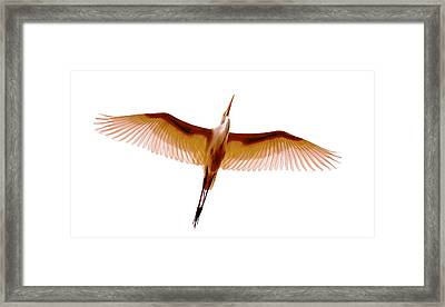Egret In Flight Framed Print