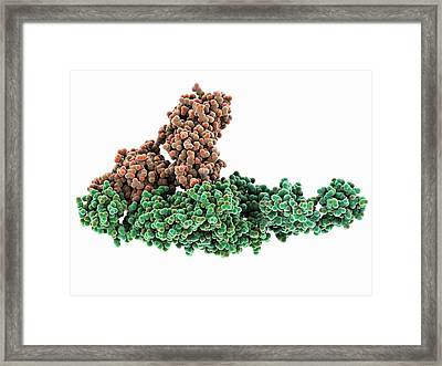 Elongation Factors Tu And Ts Framed Print