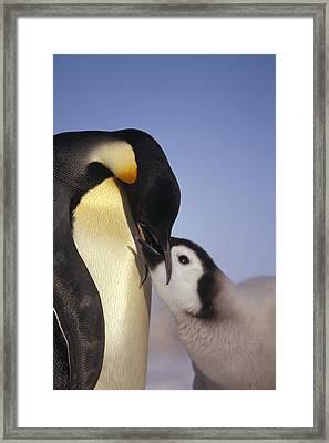 Emperor Penguin Feeding Chick Antarctica Framed Print