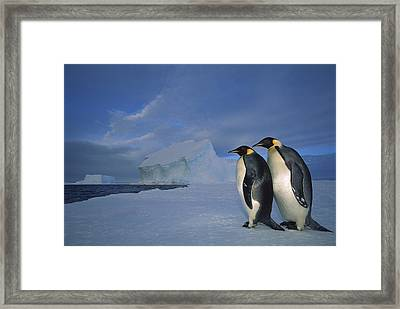 Emperor Penguins At Midnight Antarctica Framed Print