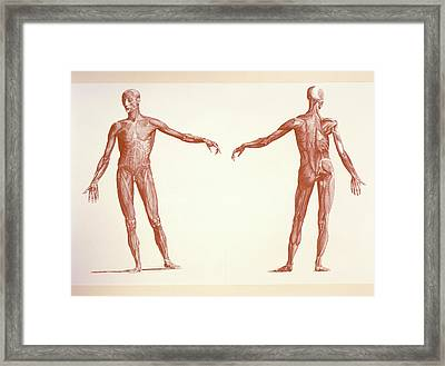 Engraving Of Human Skeletal Muscles Framed Print by Sheila Terry/science Photo Library