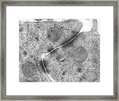 Epithelial Cell Zonula Adherens Framed Print by Dennis Kunkel Microscopy/science Photo Library