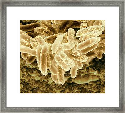 Erwinia Bacteria Framed Print
