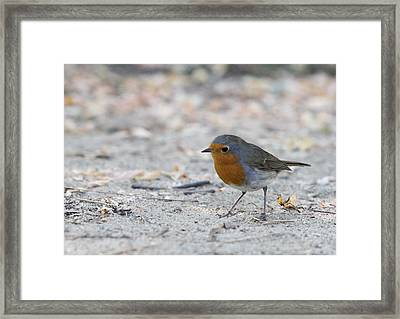 Framed Print featuring the photograph European Robin - Erithacus Rubecula by Jivko Nakev