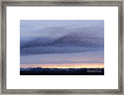 European Starling Flock Framed Print by Duncan Shaw