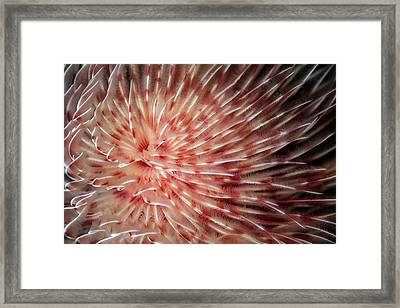 Feather Duster Worm Framed Print by Ethan Daniels