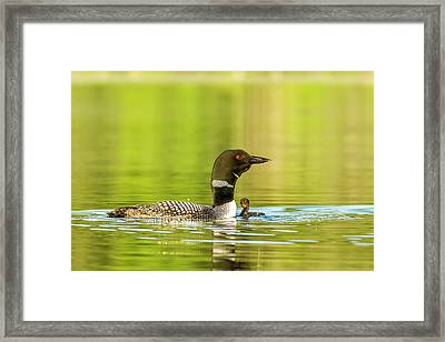 Female Common Loon With Newborn Chick Framed Print by Chuck Haney
