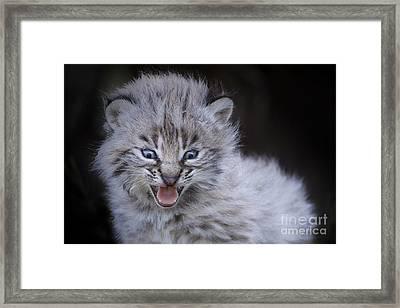 Fierce Little Bobcat Framed Print by Sharon Ely