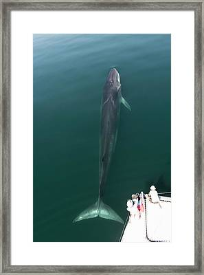 Fin Whale Framed Print by Christopher Swann