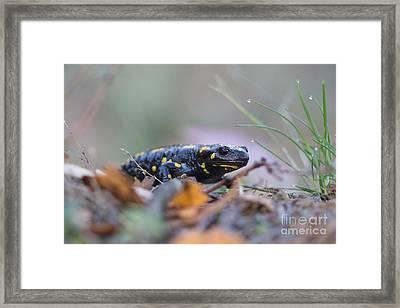Fire Salamander - Salamandra Salamandra Framed Print by Jivko Nakev
