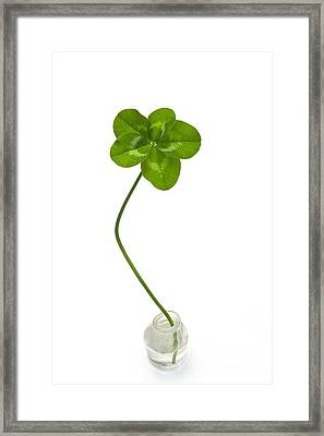 Five-leaf Clover Framed Print by David Nunuk