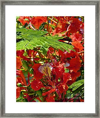 Framed Print featuring the photograph Flamboyan by Lilliana Mendez