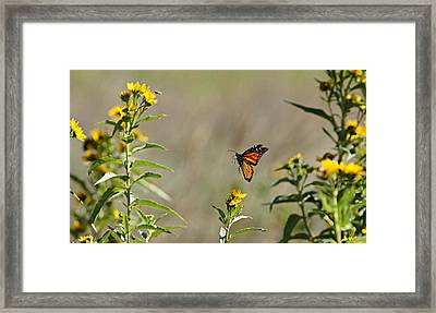 Framed Print featuring the photograph Flight Of The Monarch by Thomas Bomstad