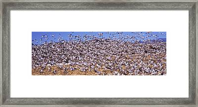 Flock Of Snow Geese Flying, Bosque Del Framed Print by Panoramic Images