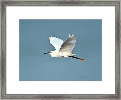 Florida, Venice, Snowy Egret Flying Framed Print