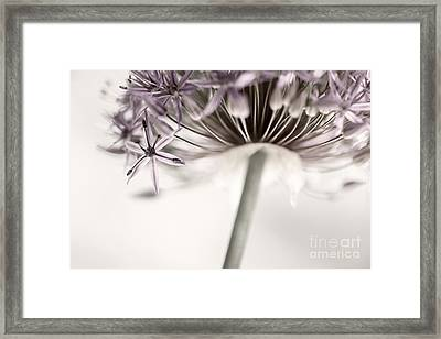 Flowering Onion Flower Framed Print