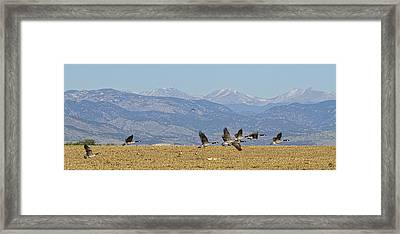 Flying Canadian Geese Colorado Rocky Mountains 1 Framed Print
