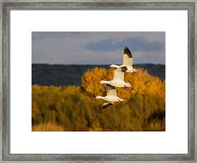 Flying Snow Geese Framed Print by Jean Noren