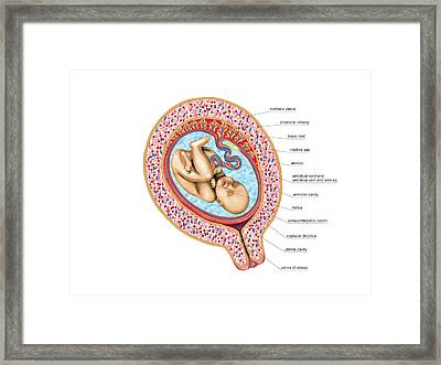 Foetus Framed Print by Asklepios Medical Atlas