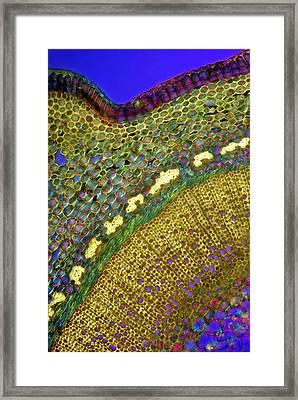Forsythia Stem Framed Print