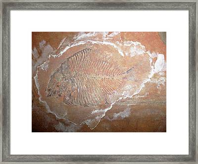 Fossil Fish Framed Print by Ucl, Grant Museum Of Zoology