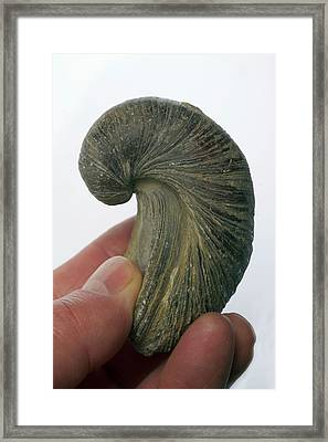 Fossilised Extinct Jurassic Oyster Framed Print by Sinclair Stammers