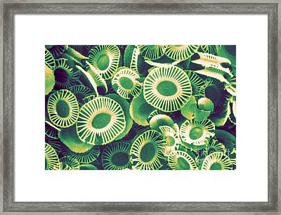 Fossilized Coccoliths, Emiliania Framed Print by Biophoto Associates