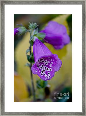 Foxglove Framed Print by Ivete Basso Photography