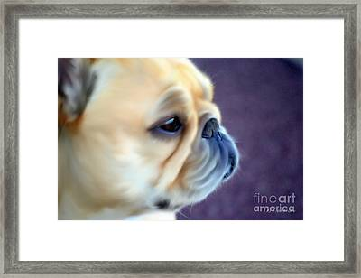 French Bulldog Head Study Framed Print by Barbara Chichester