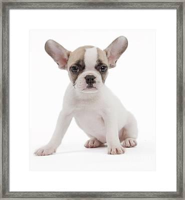 French Bulldog Puppy Framed Print