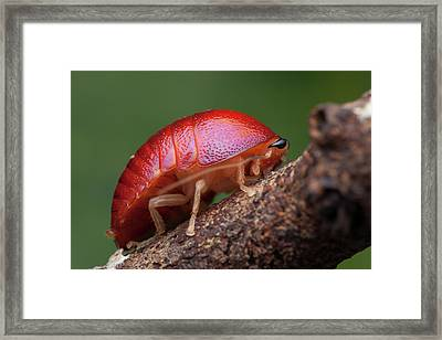 Freshly Moulted Pill Cockroach Framed Print by Melvyn Yeo
