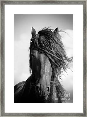 Friesian Stallion. Framed Print by Jan Brons